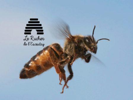 Reines Buckfast fécondées de l'année  - Livraison semaine 35